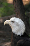Bald Eagle Haliaeetus Leucocephalus close up. American Bald Eagle close up Stock Photos