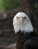 Bald Eagle Haliaeetus Leucocephalus close up. American Bald Eagle close up Royalty Free Stock Photo