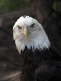 Bald Eagle Haliaeetus Leucocephalus close up. American Bald Eagle close up Royalty Free Stock Image