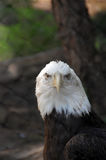 Bald Eagle Haliaeetus Leucocephalus close up. American Bald Eagle close up Royalty Free Stock Photography