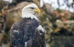 Bald eagle Haliaeetus leucocephalus Stock Photo