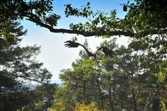Bald Eagle (Haliaeetus leucocephalus) flying Stock Photo