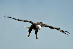 The Bald Eagle (Haliaeetus leucocephalus) flying Royalty Free Stock Photo
