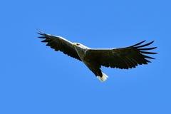 The Bald Eagle Haliaeetus leucocephalus flying Royalty Free Stock Image