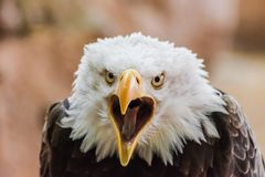 Bald eagle Haliaeetus leucocephalus head portrait. With open beak and looking at you, with rocks background royalty free stock photos