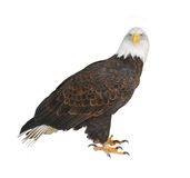 Bald eagle Haliaeetus leucocephalus isolated in white background. Bald eagle Haliaeetus leucocephalus is an opportunistic feeder which subsists mainly on fish royalty free stock image