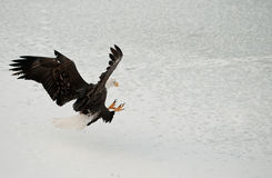 Bald Eagle ( Haliaeetus leucocephalus ) Landed Stock Photos