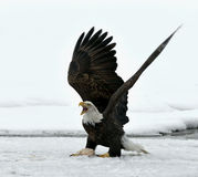 Bald Eagle  ( Haliaeetus leucocephalus )  landed on snow Stock Images