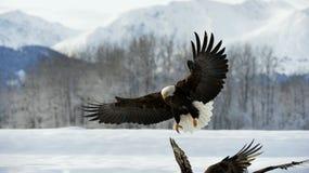 Bald Eagle  ( Haliaeetus leucocephalus )  landed on snow Royalty Free Stock Photos