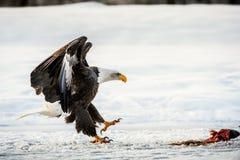 Bald Eagle ( Haliaeetus leucocephalus ) landed on snow Stock Photo