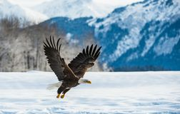 Bald Eagle ( Haliaeetus leucocephalus ) landed on snow Royalty Free Stock Image