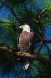 Bald Eagle (Haliaeetus leucocephalus). Bald eagle looking while perched on tree branch Royalty Free Stock Image
