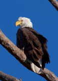 Bald Eagle (Haliaeetus leucocephalus) Stock Images