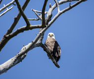 Bald Eagle (Haliaeetus leucocephalus). Male Bald Eagle perched high above in a tree Royalty Free Stock Images