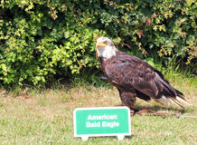 The Bald Eagle (Haliaeetus leucocephalus) Royalty Free Stock Image