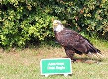 The Bald Eagle (Haliaeetus leucocephalus) royalty free stock image
