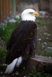Bald eagle. (Haliaeetus leucocephalus), the national emblem of the United States Stock Image