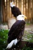 Bald eagle. (Haliaeetus leucocephalus), the national emblem of the United States Stock Images