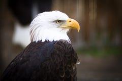 Bald eagle. (Haliaeetus leucocephalus), the national emblem of the United States Royalty Free Stock Images