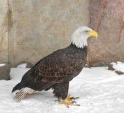 Bald eagle Haliaeetus leucocephalus Royalty Free Stock Photography
