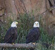 Bald eagle Haliaeetus leucocephalus pair roosting Royalty Free Stock Photo