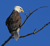 Bald Eagle (Haliaeetus leucocephalus). Perched in tree, Oyster Bay, Vancouver Island, Canada Royalty Free Stock Photo