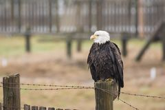 A Bald Eagle Haliaeetus leucocephalus perched on a wooden fenc. E stock images
