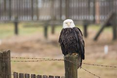 A Bald Eagle Haliaeetus leucocephalus perched on a wooden fenc. E stock image