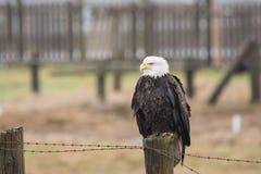 A Bald Eagle Haliaeetus leucocephalus perched on a wooden fenc. E Royalty Free Stock Photo