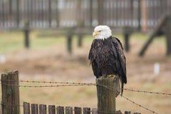 A Bald Eagle Haliaeetus leucocephalus perched on a wooden fenc. E Royalty Free Stock Image