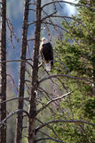 Bald Eagle, Haliaeetus leucocephalus Royalty Free Stock Images