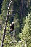 Bald Eagle, Haliaeetus leucocephalus Stock Photo