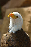 The Bald Eagle Royalty Free Stock Photos