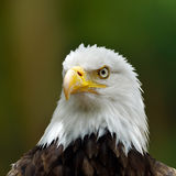 The Bald Eagle (Haliaeetus leucocephalus) Stock Photography