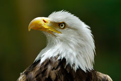 The Bald Eagle (Haliaeetus leucocephalus) Stock Photos