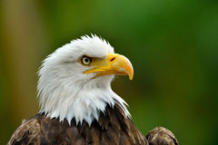 The Bald Eagle (Haliaeetus leucocephalus) Royalty Free Stock Photos