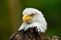 The Bald Eagle (Haliaeetus leucocephalus) Royalty Free Stock Photography