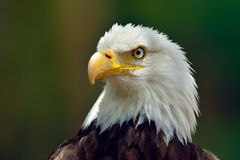 The Bald Eagle (Haliaeetus leucocephalus) Stock Image