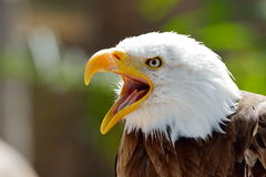 The Bald Eagle (Haliaeetus leucocephalus) Royalty Free Stock Images