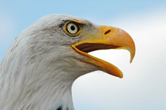 Bald Eagle,  Haliaeetus leucocephalus Royalty Free Stock Image