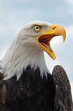 Bald Eagle,  Haliaeetus leucocephalus Royalty Free Stock Photography