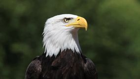 Bald Eagle, haliaeetus leucocephalus, Portrait of Adult Calling, looking around,