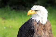 Bald Eagle / Haliaeetus leucocephalus  Stock Photography