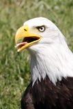 Bald Eagle ( Haliaeetus leucocephalus ) Stock Image