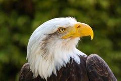 Bald Eagle Haliaeetus leucocephalus Portrait also known as Ame. Rican Eagle Royalty Free Stock Photo