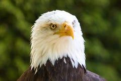 Bald Eagle Haliaeetus leucocephalus Portrait also known as Ame. Rican Eagle Stock Photos