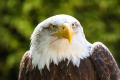Bald Eagle Haliaeetus leucocephalus Portrait also known as Ame. Rican Eagle Royalty Free Stock Photography