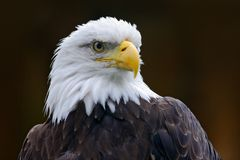 Bald Eagle, Haliaeetus leucocephalus, portrait of brown bird of prey with white head, yellow bill, symbol of freedom of the United Stock Image