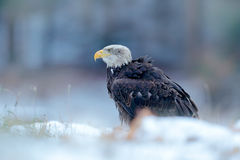 Bald Eagle, Haliaeetus leucocephalus, portrait of brown bird of prey with white head, yellow bill. Winter scene with snow, Alaska, Royalty Free Stock Photos