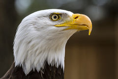 Bald eagle. haliaeetus leucocephalus Royalty Free Stock Photo
